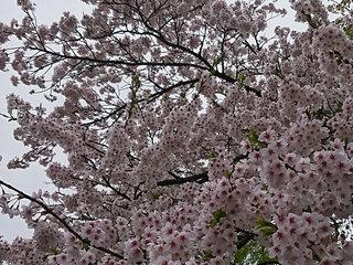 20180425_桜①.jpg