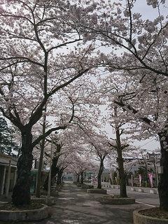 20180422_桜③.jpg
