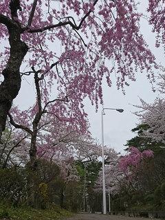 20180425_桜④.jpg