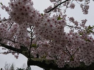 20180424_桜�B.jpg