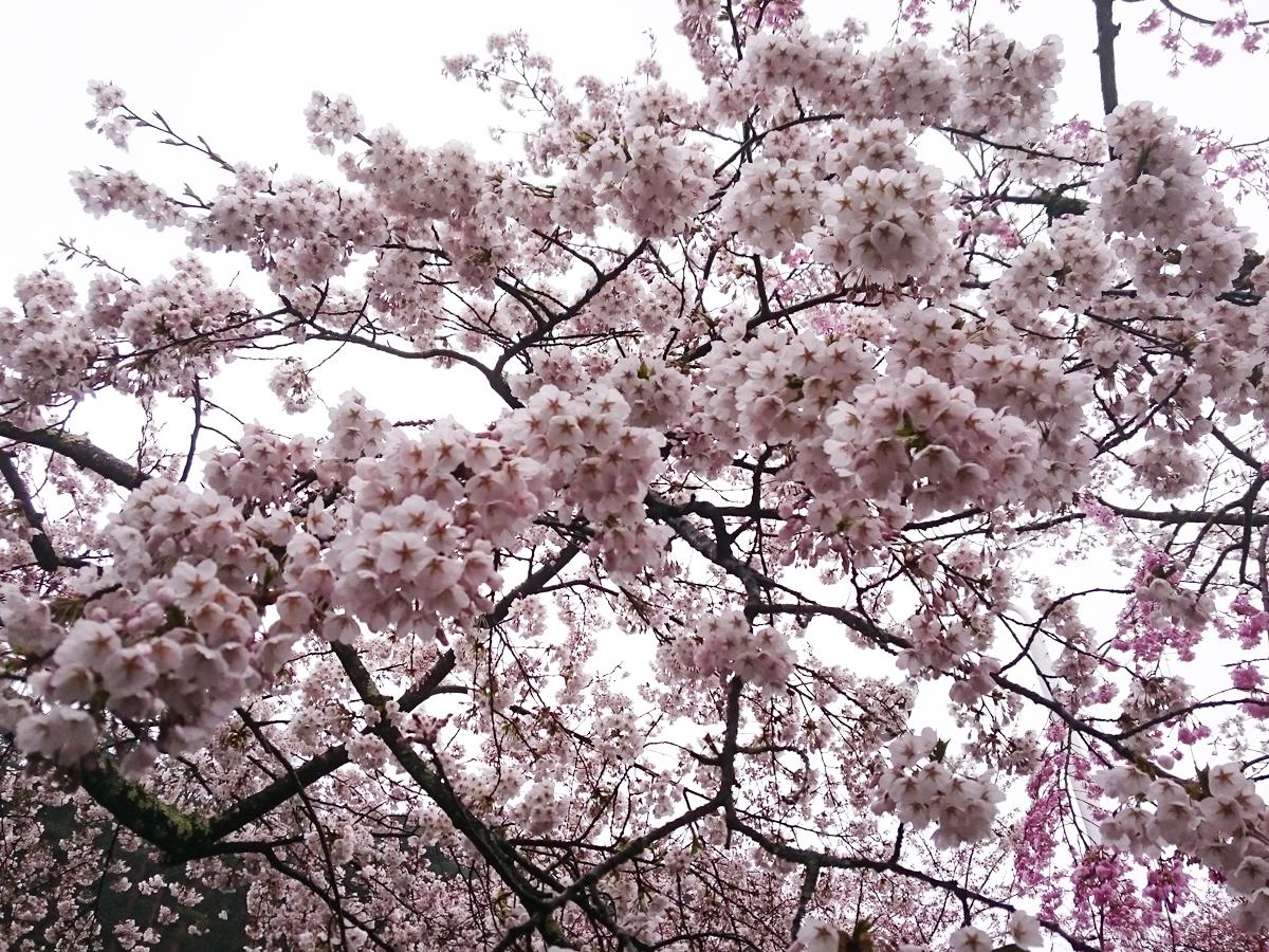 20170426_桜�B.jpg