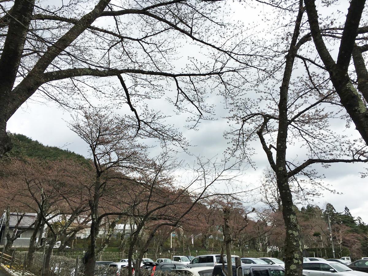 20170422_桜�A.jpg
