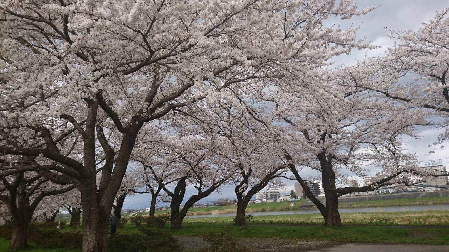 20170422_展勝地の桜.jpg