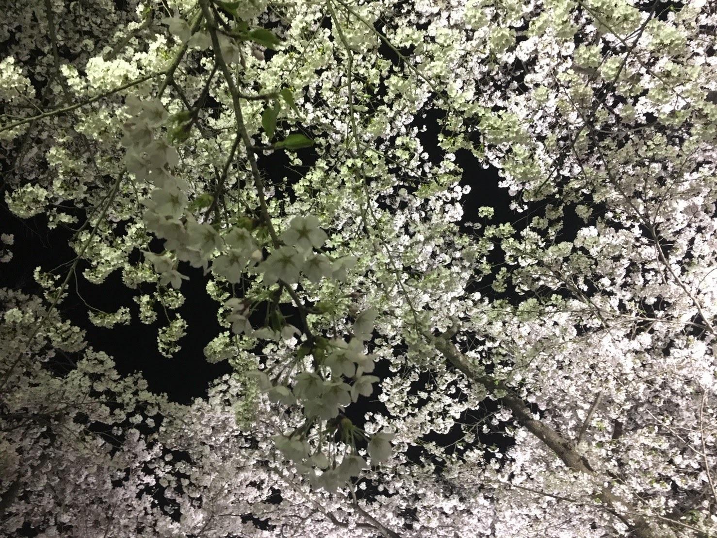 20170426_展勝地の夜桜�A.jpg