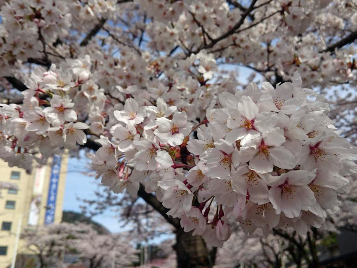 20170427_花巻温泉の桜.jpg