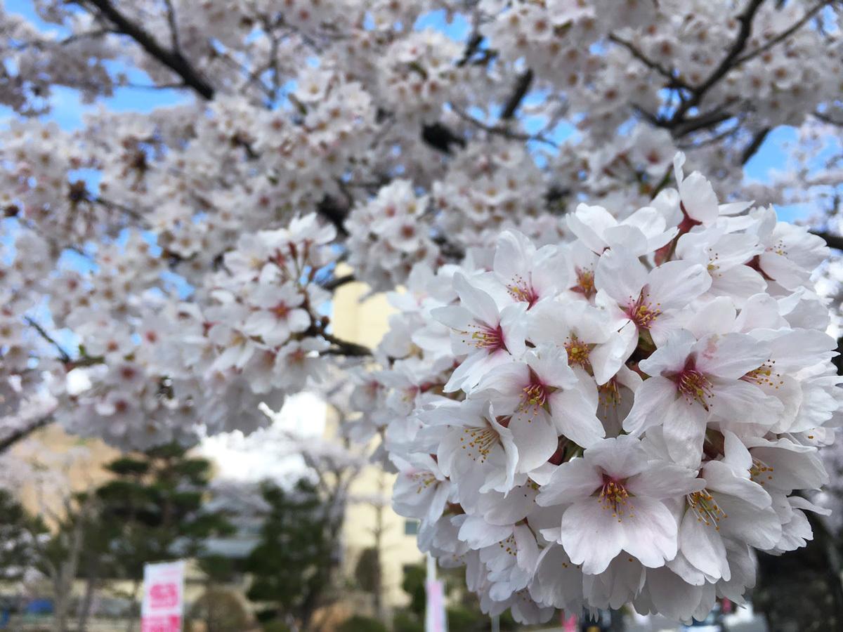 20170428_桜�A.jpg