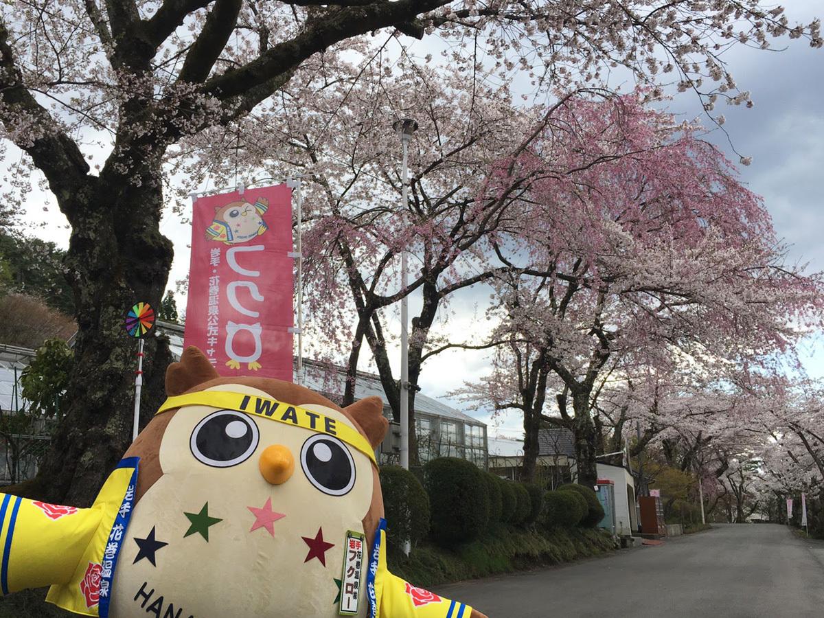 20170428_桜とフクロー.jpg