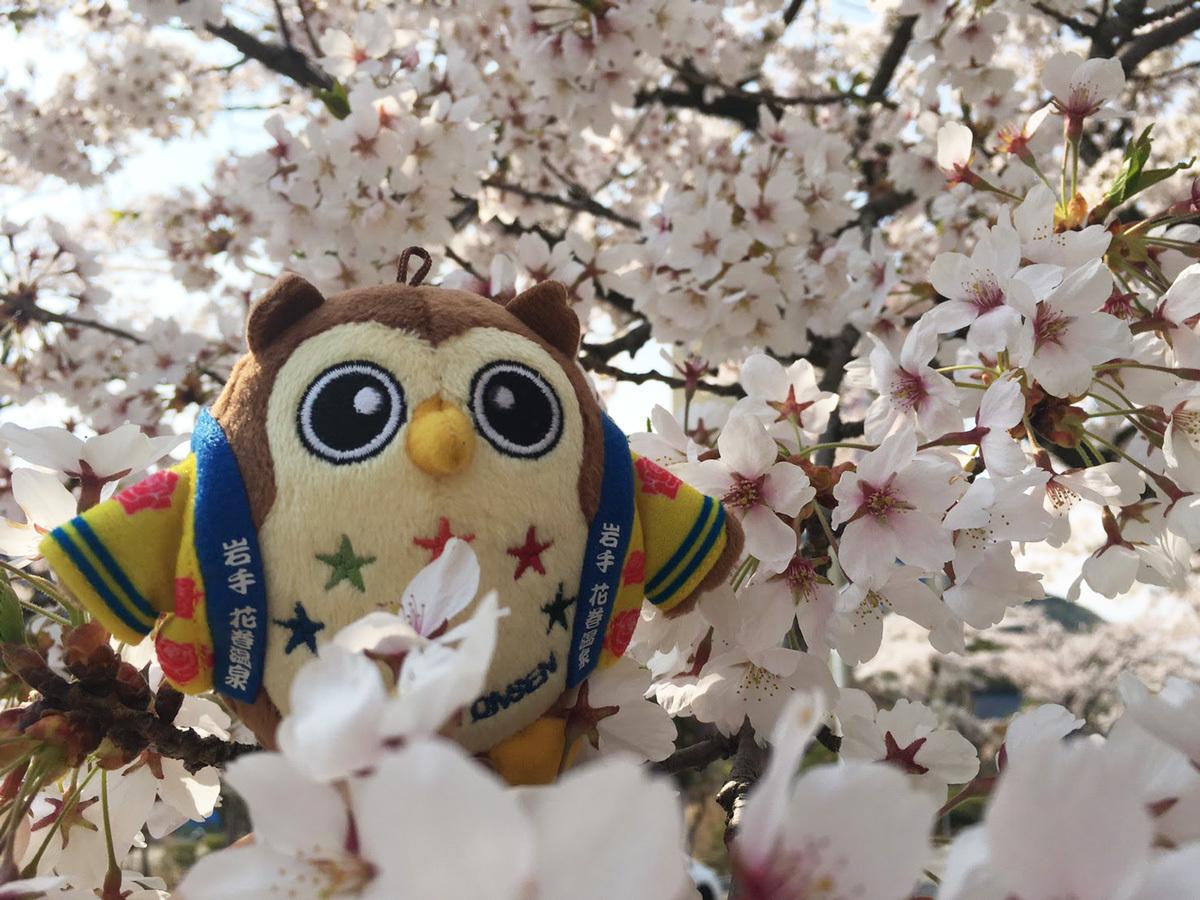 20170430_桜とフクロー�@.jpg