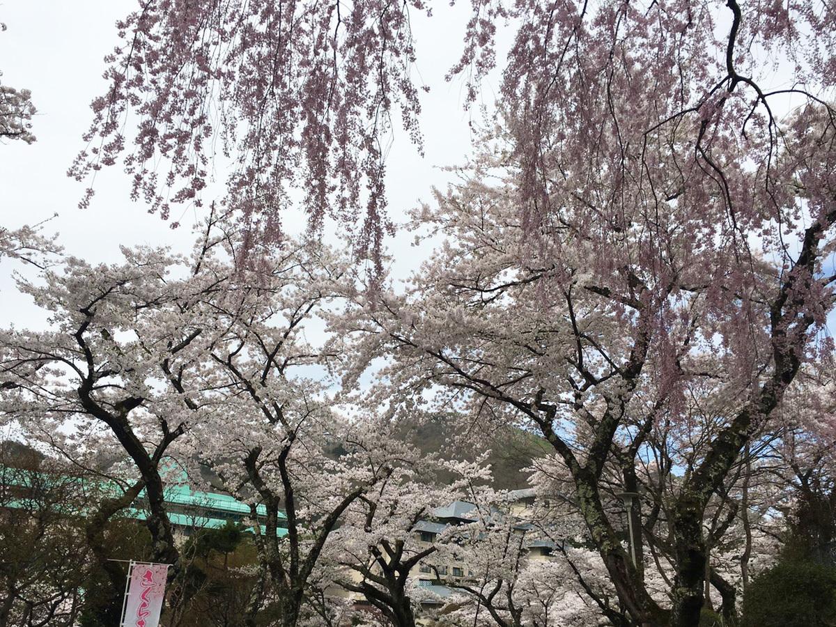 20170501_バラ園前の桜並木.jpg