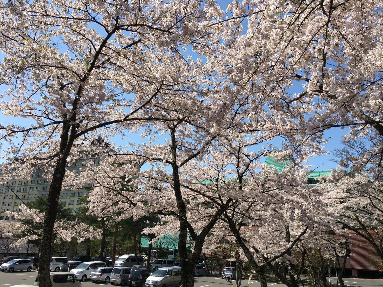 20170503_桜�B.jpg