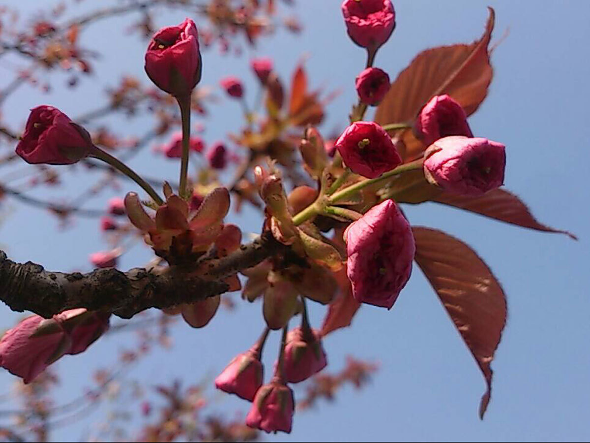 20150428-八重桜.jpg