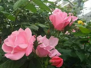 20180414_Hanamakionsen_RoseGarden2.jpg