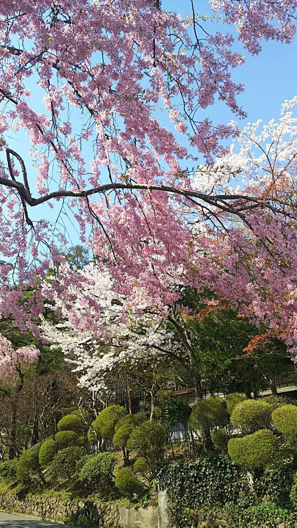 20180426_hanamakionsen Sakura1.jpg