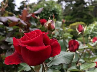20180531_Hanamakionsen Rose Garden4.jpg