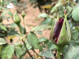 20180531_Hanamakionsen Rose Garden5.jpg
