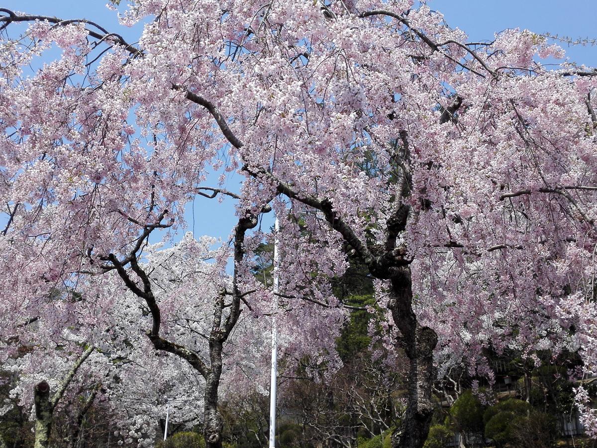 20170430_桜�D.jpg