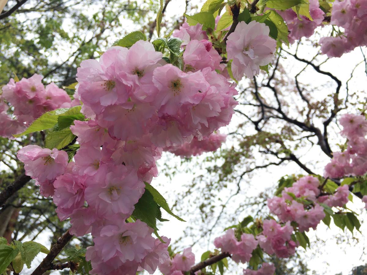 20170506_八重桜.jpg