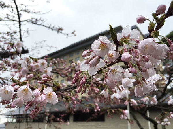 20160415_桜.jpg