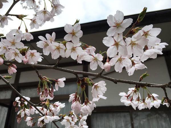 20160418_桜2.jpg