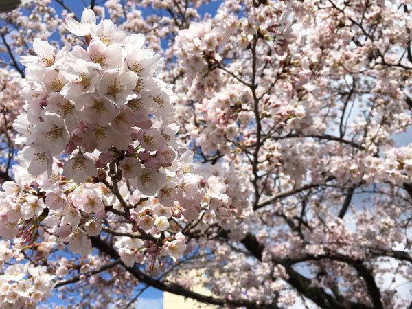 20160420_桜3.jpg