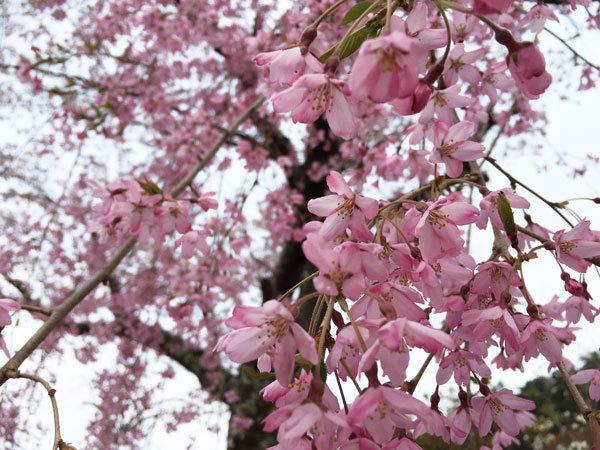 20160421_枝垂桜.jpg