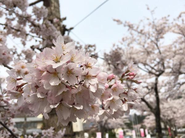 20160421_桜1.jpg