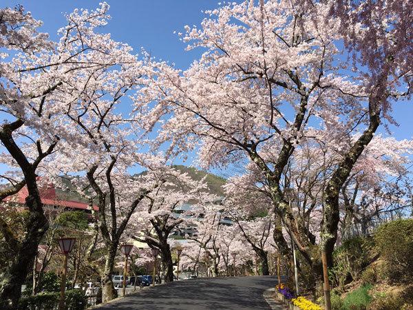 20160425_バラ園前の桜並木.jpg