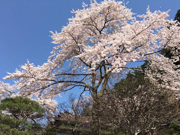 20160425_旧松雲閣横の桜.jpg