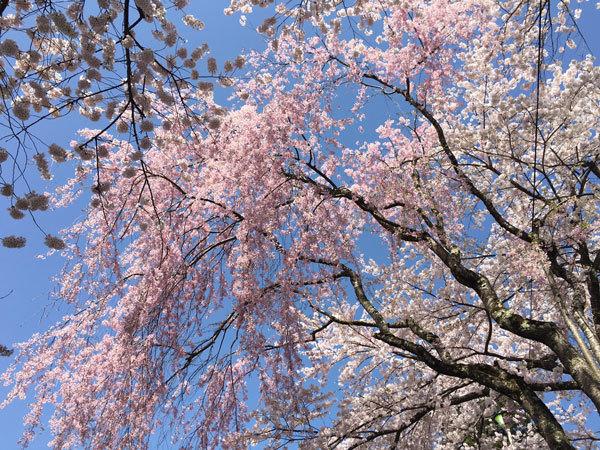20160425_桜.jpg