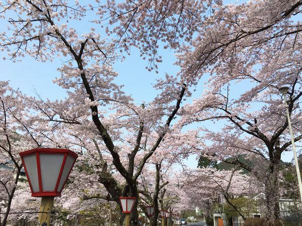 20160426_バラ園前の桜並木.jpg
