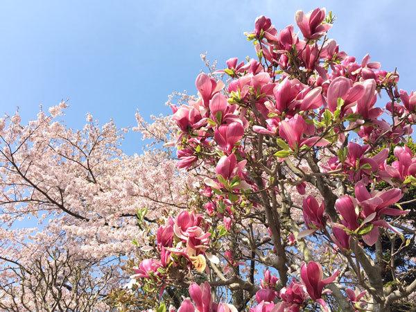 20160427_木蓮と桜.jpg