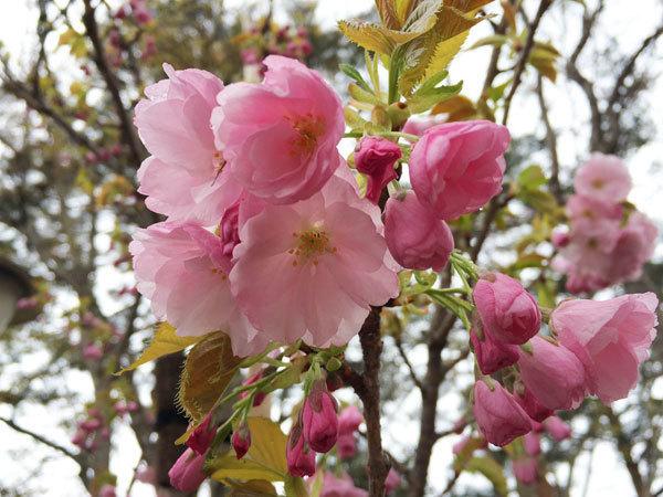 20160429_八重桜.jpg