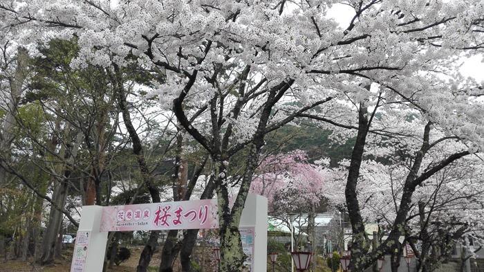 20160423_満開の桜.jpg